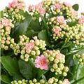 KALANCHOE blossfeldiana D13 x6 Queen