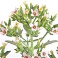 KALANCHOE blossfeldiana D14 X4 Femini Pink