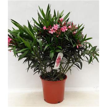 NERIUM oleander D20 50-70cm Laurier Rose