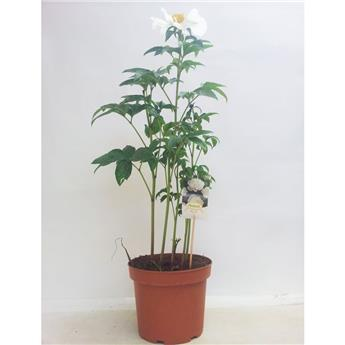 PAEONIA lactiflora D24 Shieley  Pivoine herbacee