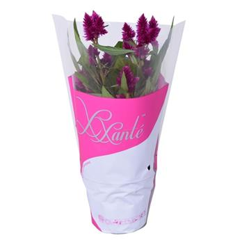 CELOSIA argentea D12 P x10 Intenz Dark Purple