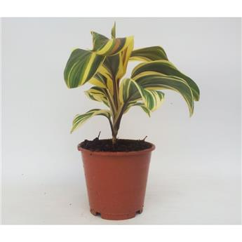 CORDYLINE fruticosa D12 x10 Chocolate Queen