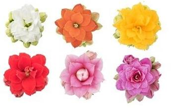 MINI KALANCHOE blossfeldiana x12 Moreflowers Sidney Ghitta