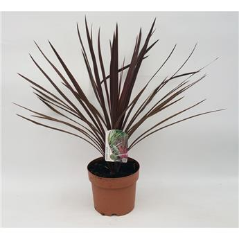 CORDYLINE australis D19 Red Star
