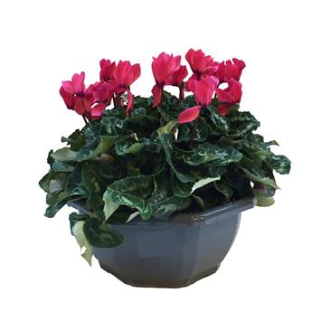 CYCLAMEN persicum D27 3PPP COUPE
