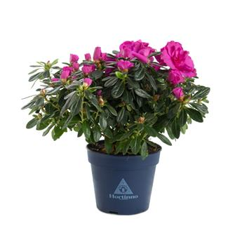 AZALEA indica D13 x6 Hortinno Lady Purple
