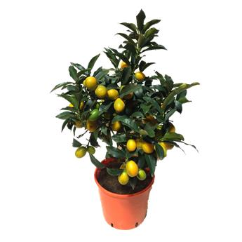 CITRUS fortunella D20 Kumquat 70-80CM MINI TIGE