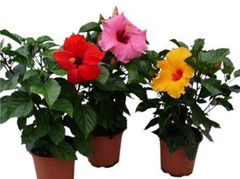 HIBISCUS rosa sinensis D17 x6 Rose de Chine 45Cm