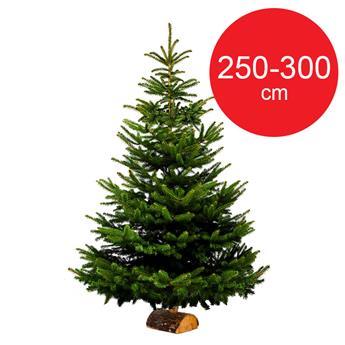 SC NORDMANN BUCHE 250-300 BUCHE 70MM