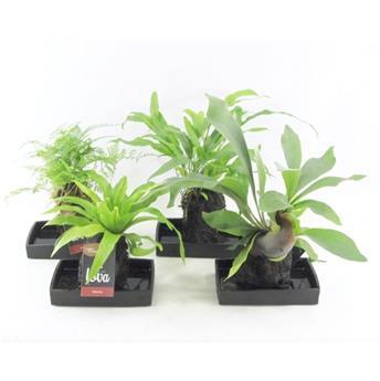ARRANGEMENT PLANTES MIX P X4 LOVA support Lave