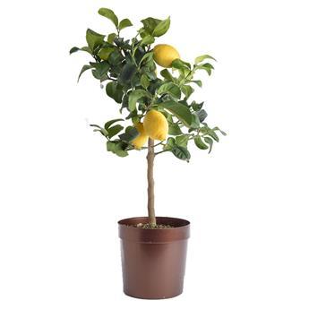 CITRUS limon D20 70-80cm Citronnier