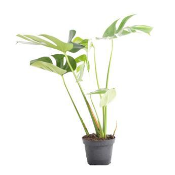 MONSTERA deliciosa D13 X8 Faux Philodendron