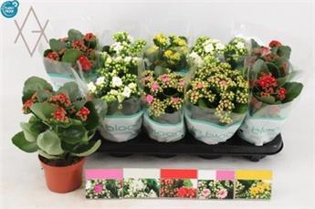 KALANCHOE blossfeldiana D09 X12 Rosalina MIX