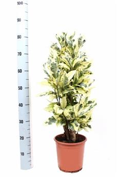 CODIAEUM variegatum D21  P Tamara 75cm