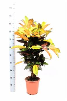 CODIAEUM variegatum D21 100CM Mrs Iceton