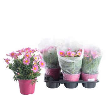 ARGYRANTHEMUM frutescens D14 x6 Anthemis ROSE