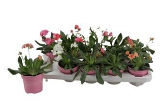 LEWISIA cotyledon D10 x10 Succulente a fleurs