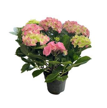 HYDRANGEA macrophylla D26 Napo PYRAMIDE Hortensia 80Cm