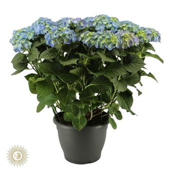HYDRANGEA macrophilla D32 P EXTERIEUR Bela BLEU Hortensia