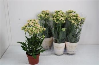 KALANCHOE blossfeldiana D14 x4 Sunny White