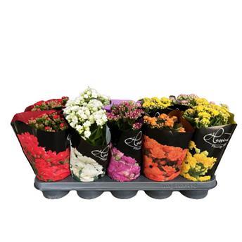 KALANCHOE blossfeldiana D12 x10 ROSE Flowers