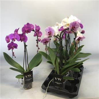 PHALAENOPSIS hybride D12 2BR X5 Umbrella MIX