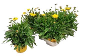COREOPSIS grandiflora D13 x8