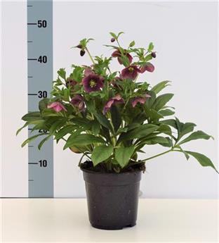 HELLEBORUS orientalis D17 X6 Victoria