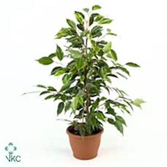 FICUS benjamina D17 P Golden King 70CM