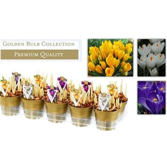 CROCUS vernus D12 X10 MIX