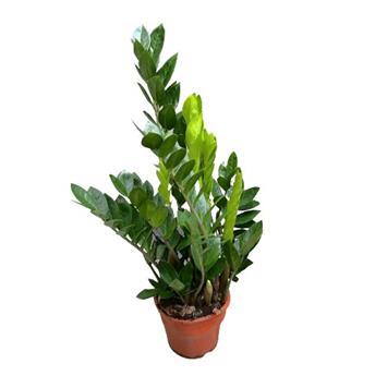 ZAMIOCULCAS zamiifolia D17 P 6+ Zanzibar