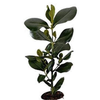 CLUSIA rosea D30        P 150CM