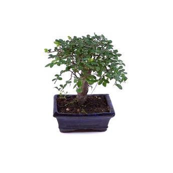 BONSAI ZELKOVA parvifolia 05ANS Orme de siberie