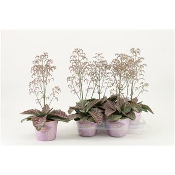 KALANCHOE humilis  D14 P x4 Wild Flowers Desert
