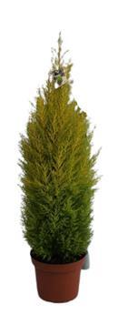 CUPRESSUS macrocarpa D26 110CM Goldcrest Wilma