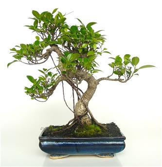 BONSAI FICUS retusa 10ANS