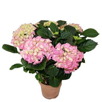 HYDRANGEA macrophylla D14 5+ P x6 ROSE Hortensia