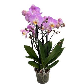 PHALAENOPSIS hybride D12 2-3BR x10 ROSE Multi Orchidee