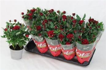 ROSA hyb.D10 HORTICOLE x12 Lots of MIX