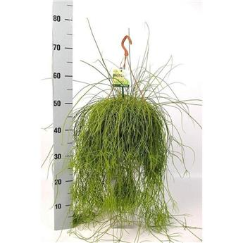 RHIPSALIS cassutha D21  P Cactus retombant SUSPENSION