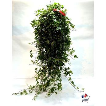 HEDERA helix D20 Grande taille  Lierre anglais