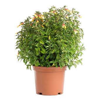 JACOBINIA pauciflora D17 Libonia ou Justicia
