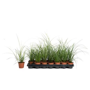CAREX brunnea D08 P x21