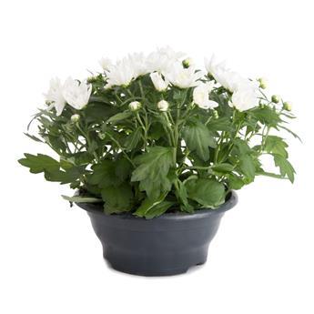 CHRYSANTHEMUM ind MULTI D23  P COUPE Chrysantheme