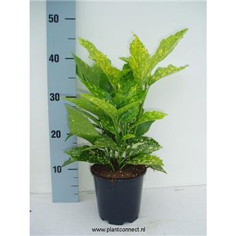 AUCUBA japonica D13 40-45CM x10 Crotonaefolia