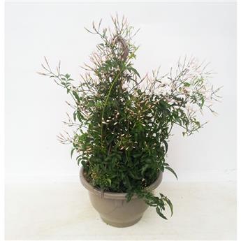 JASMINUM polyanthum D21 SUSPENSION