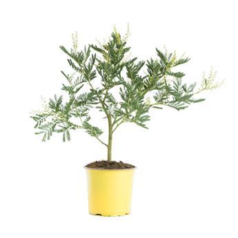 ACACIA dealbata D15 TOUFFE Mimosa d hiver 40-45CM